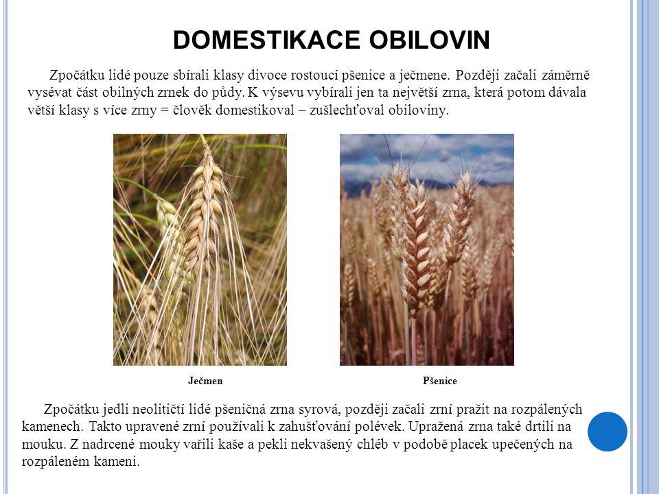 DOMESTIKACE OBILOVIN Zpočátku lidé pouze sbírali klasy divoce rostoucí pšenice a ječmene. Později začali záměrně vysévat část obilných zrnek do půdy.