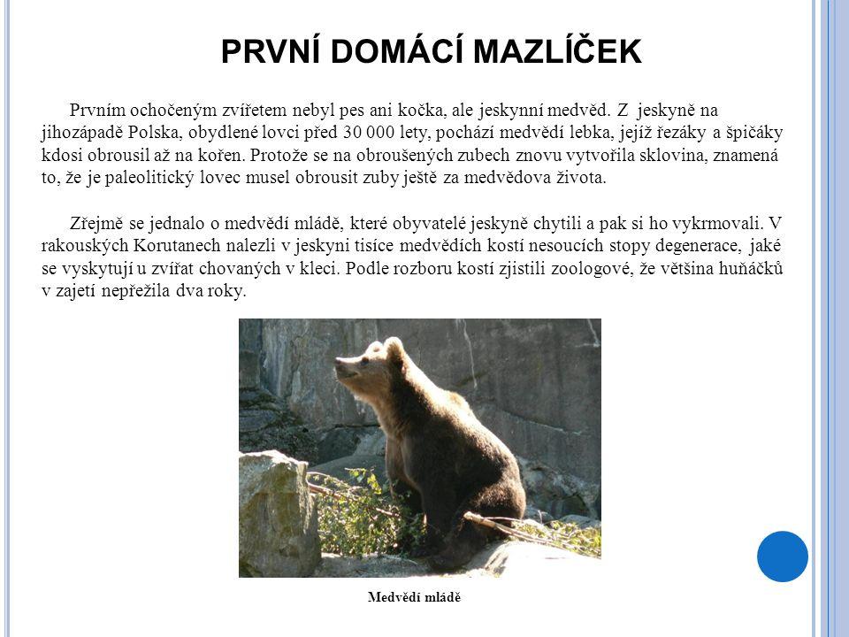 PRVNÍ DOMÁCÍ MAZLÍČEK Prvním ochočeným zvířetem nebyl pes ani kočka, ale jeskynní medvěd. Z jeskyně na jihozápadě Polska, obydlené lovci před 30 000 l