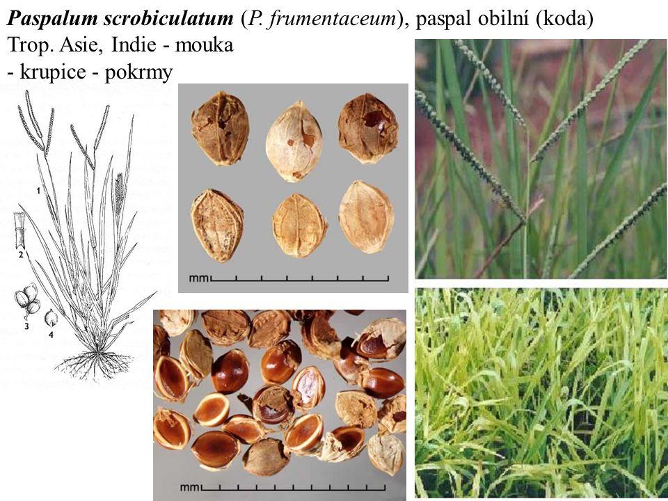 Paspalum scrobiculatum (P. frumentaceum), paspal obilní (koda) Trop.