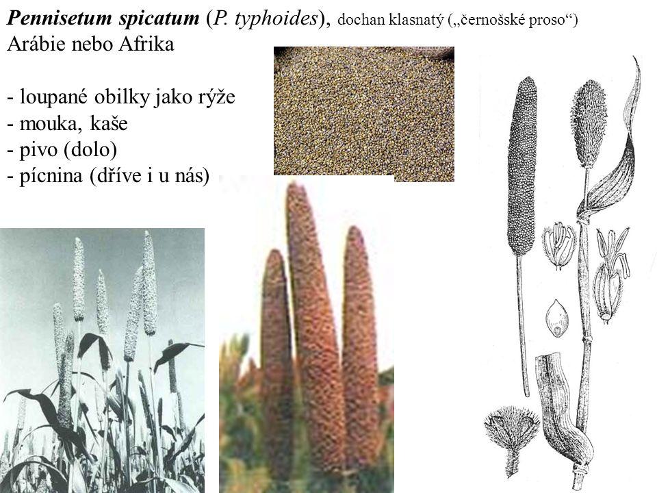 Pennisetum spicatum (P.