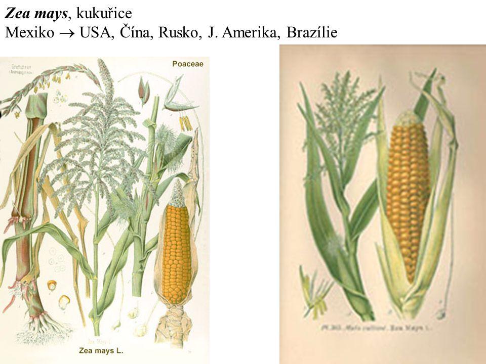 Zea mays, kukuřice Mexiko  USA, Čína, Rusko, J. Amerika, Brazílie
