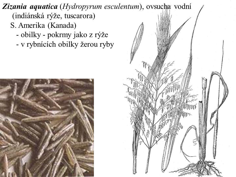 Zizania aquatica (Hydropyrum esculentum), ovsucha vodní (indiánská rýže, tuscarora) S.