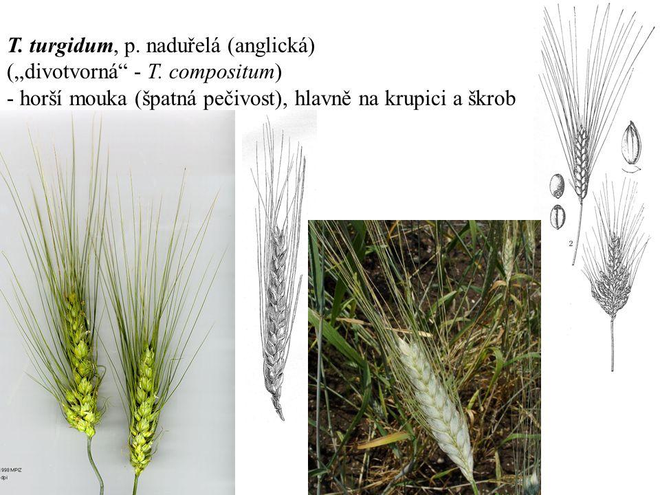 """T. turgidum, p. naduřelá (anglická) (""""divotvorná - T."""