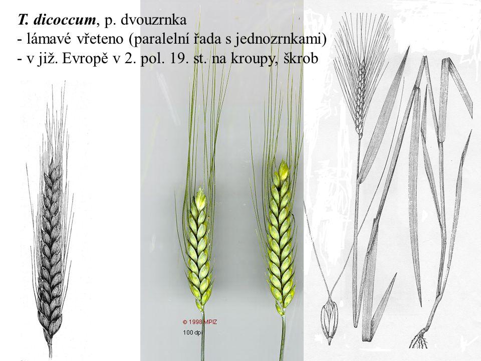 T. dicoccum, p. dvouzrnka - lámavé vřeteno (paralelní řada s jednozrnkami) - v již.