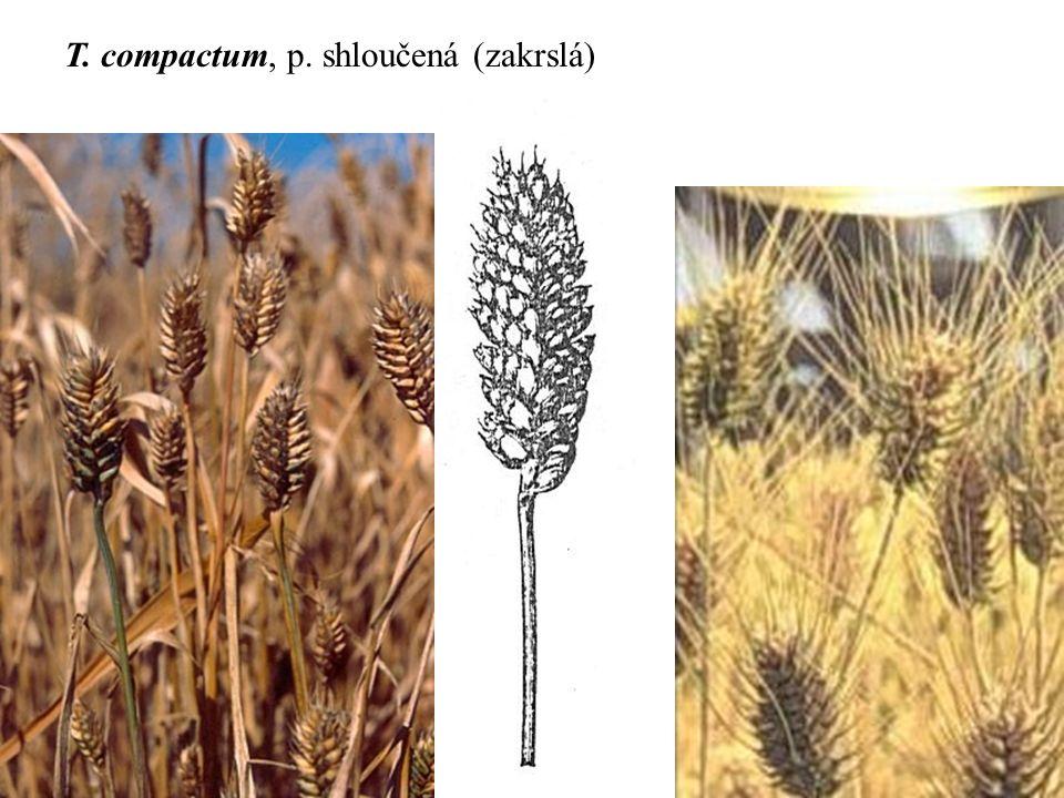 T. compactum, p. shloučená (zakrslá)