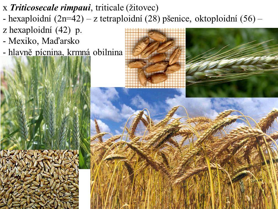 x Triticosecale rimpaui, triticale (žitovec) - hexaploidní (2n=42) – z tetraploidní (28) pšenice, oktoploidní (56) – z hexaploidní (42) p.