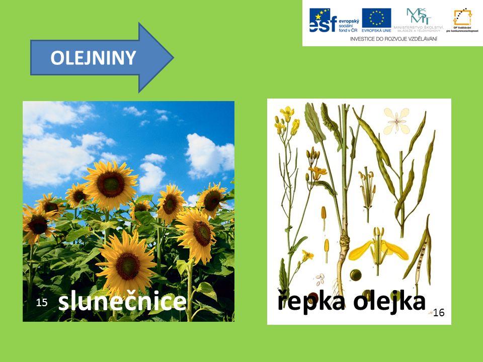 OLEJNINY 15 16 slunečnice řepka olejka