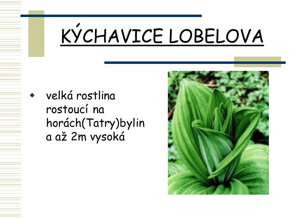 KÝCHAVICE LOBELOVA  velká rostlina rostoucí na horách(Tatry)bylin a až 2m vysoká