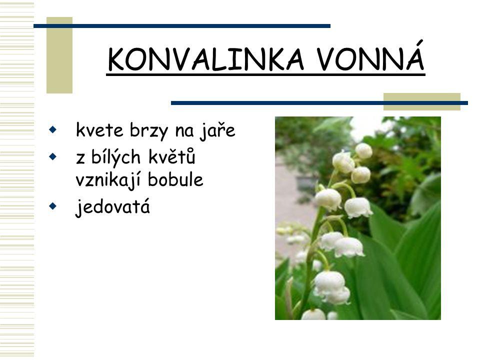 KONVALINKA VONNÁ  kvete brzy na jaře  z bílých květů vznikají bobule  jedovatá