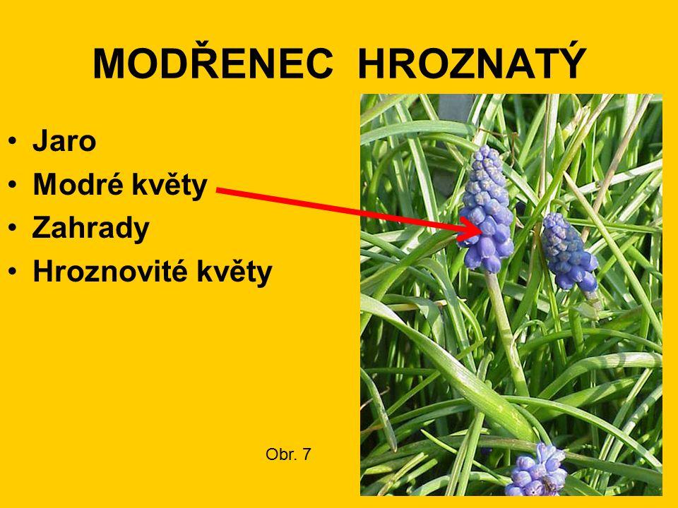 MODŘENEC HROZNATÝ Jaro Modré květy Zahrady Hroznovité květy Obr. 7