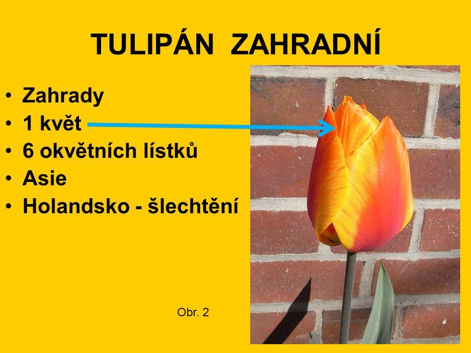 TULIPÁN ZAHRADNÍ Zahrady 1 květ 6 okvětních lístků Asie Holandsko - šlechtění Obr. 2