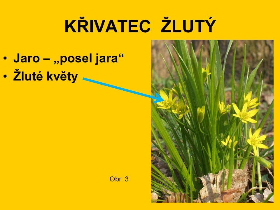 "KŘIVATEC ŽLUTÝ Jaro – ""posel jara Žluté květy Obr. 3"