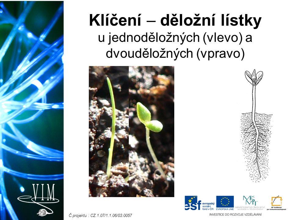 Č.projektu : CZ.1.07/1.1.06/03.0057 Heterofylie = různolistost schopnost vytvářet na 1 rostlině listy různého tvaru a velikosti Určete tuto rostlinu, doplňte specifický typ kořenů.