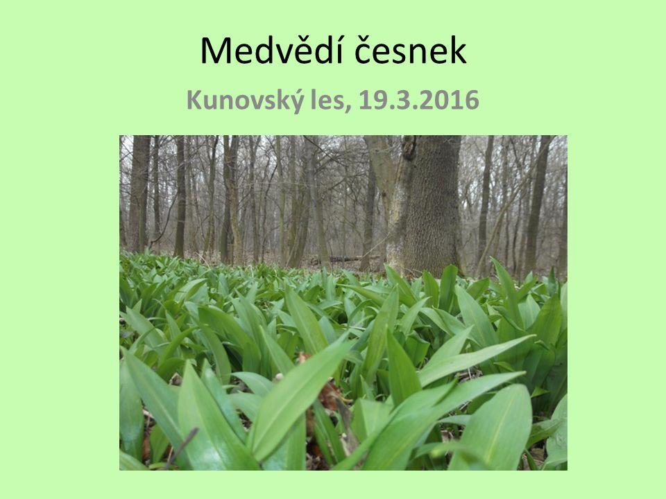 Medvědí česnek Kunovský les, 19.3.2016