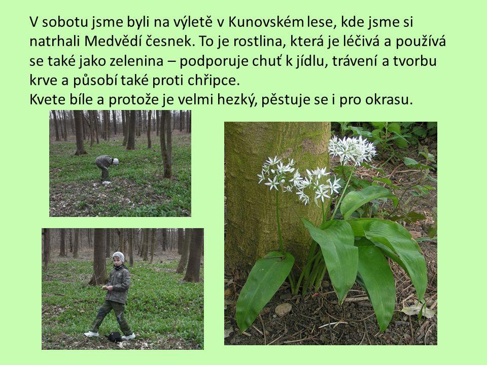 V sobotu jsme byli na výletě v Kunovském lese, kde jsme si natrhali Medvědí česnek. To je rostlina, která je léčivá a používá se také jako zelenina –
