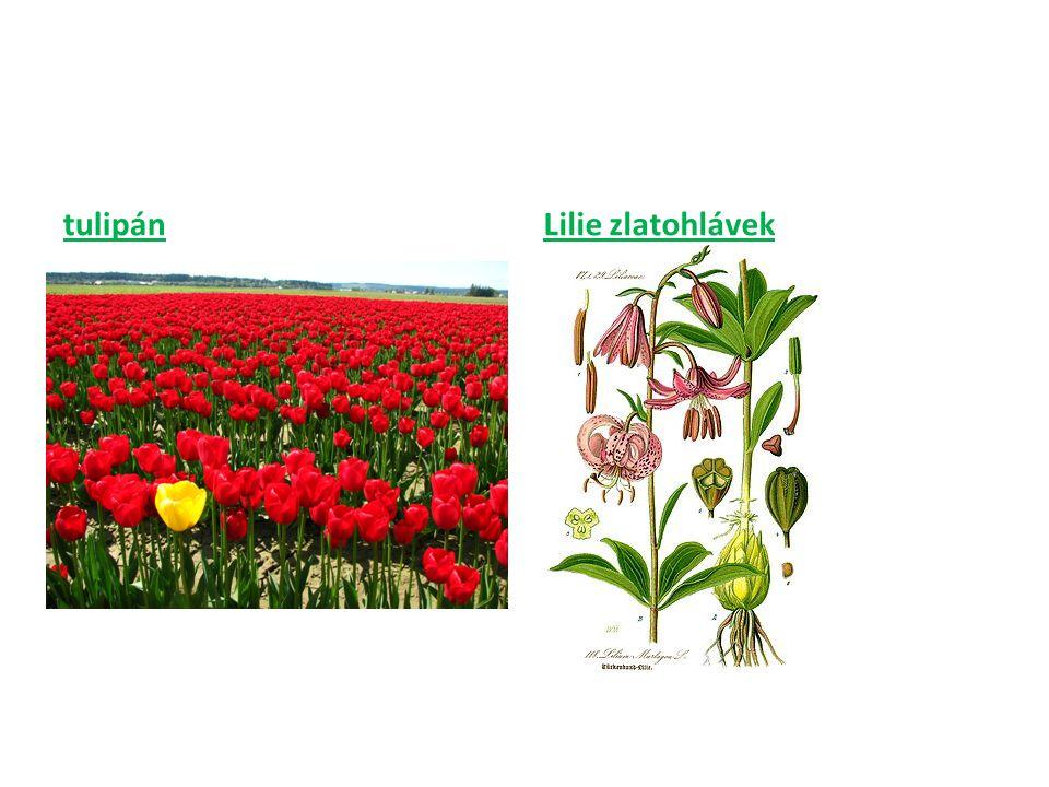 tulipánLilie zlatohlávek