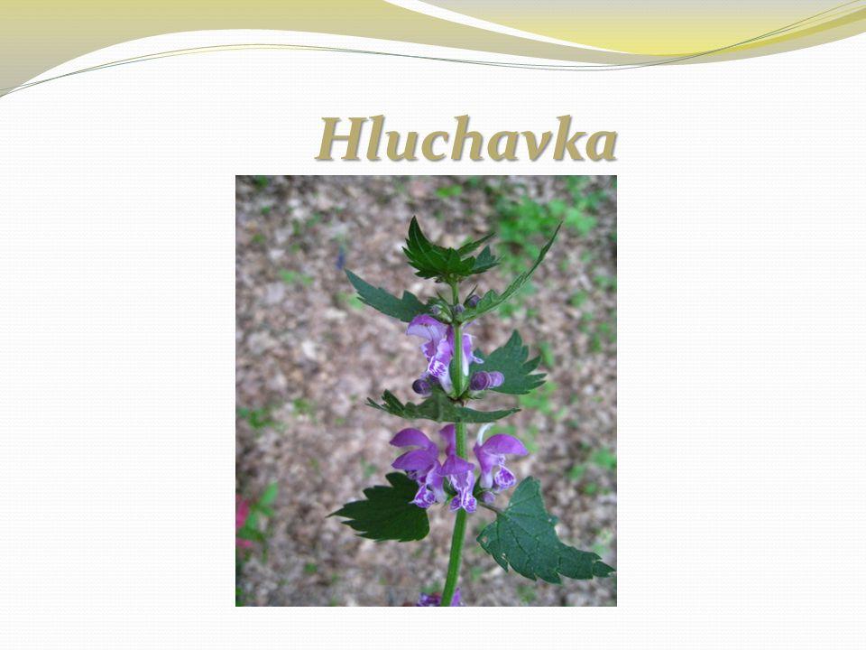 Hluchavka