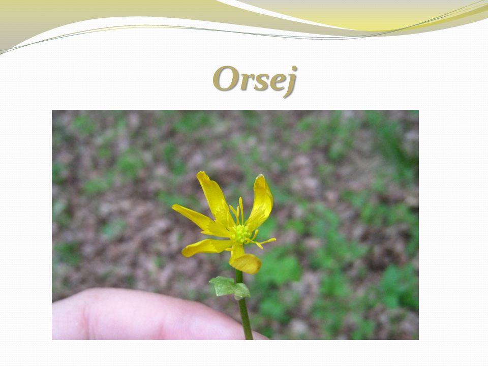 Orsej