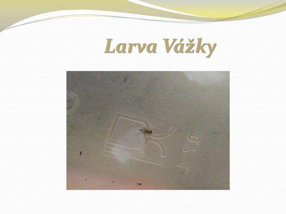 Larva Komára