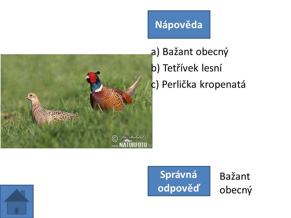 a) Bažant obecný b) Tetřívek lesní c) Perlička kropenatá Nápověda Správná odpověď Bažant obecný