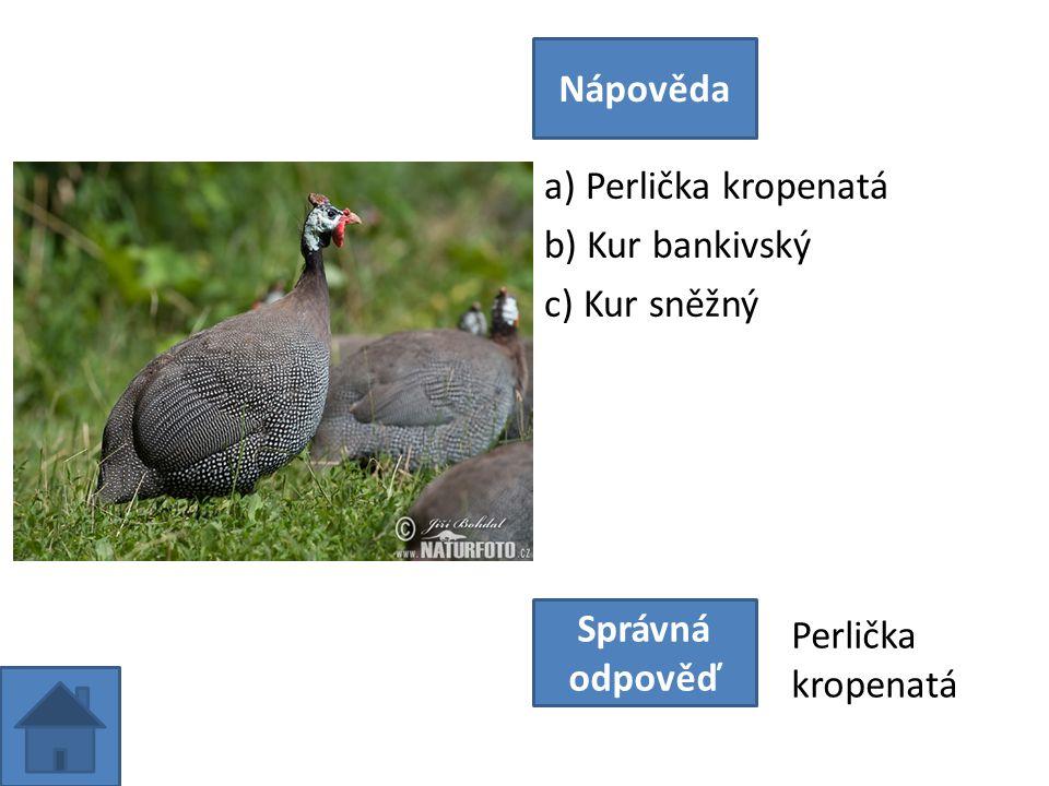 a) Perlička kropenatá b) Kur bankivský c) Kur sněžný Nápověda Správná odpověď Perlička kropenatá