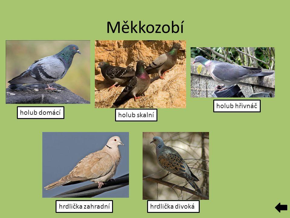 Měkkozobí holub domácí holub skalní holub hřivnáč hrdlička zahradníhrdlička divoká