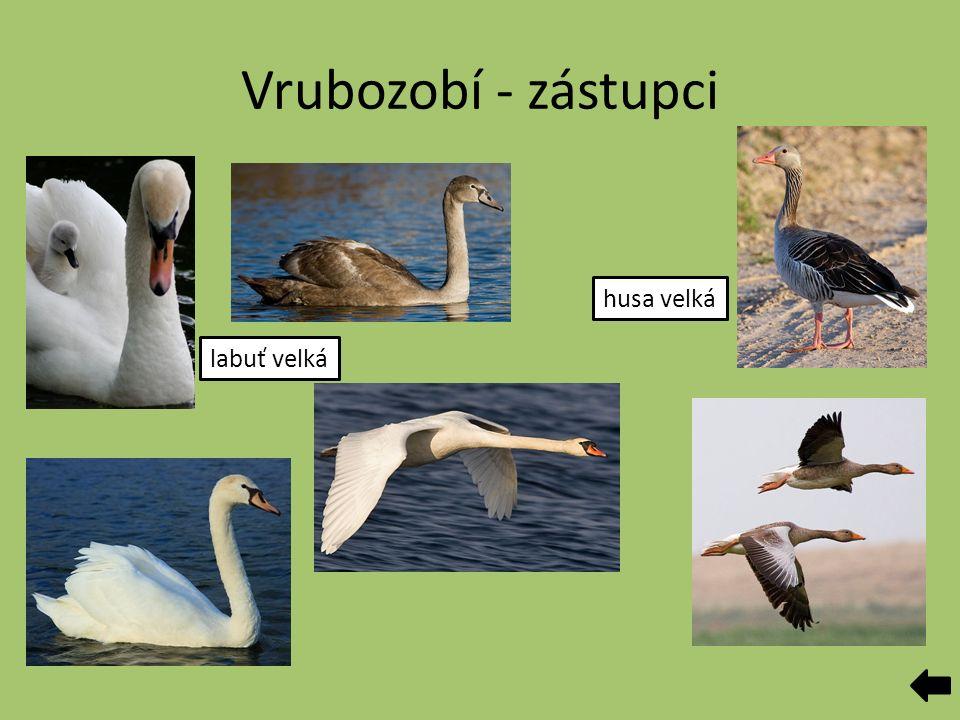 Vrubozobí - zástupci labuť velká husa velká
