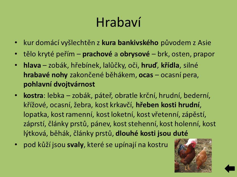 Hrabaví kur domácí vyšlechtěn z kura bankivského původem z Asie tělo kryté peřím – prachové a obrysové – brk, osten, prapor hlava – zobák, hřebínek, l