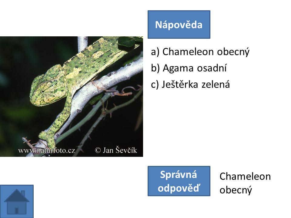 a) Chameleon obecný b) Agama osadní c) Ještěrka zelená Nápověda Správná odpověď Chameleon obecný