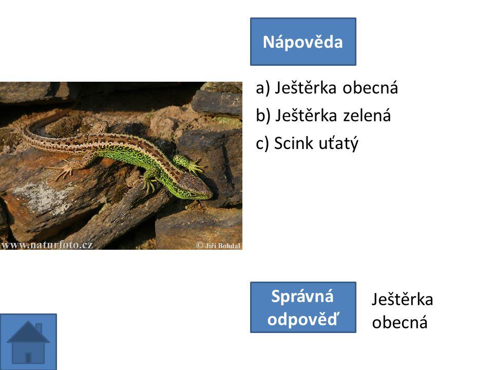 a) Ještěrka obecná b) Ještěrka zelená c) Scink uťatý Nápověda Správná odpověď Ještěrka obecná