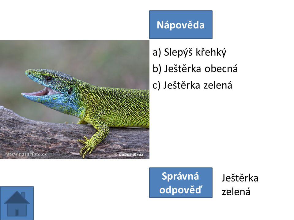 a) Slepýš křehký b) Ještěrka obecná c) Ještěrka zelená Nápověda Správná odpověď Ještěrka zelená