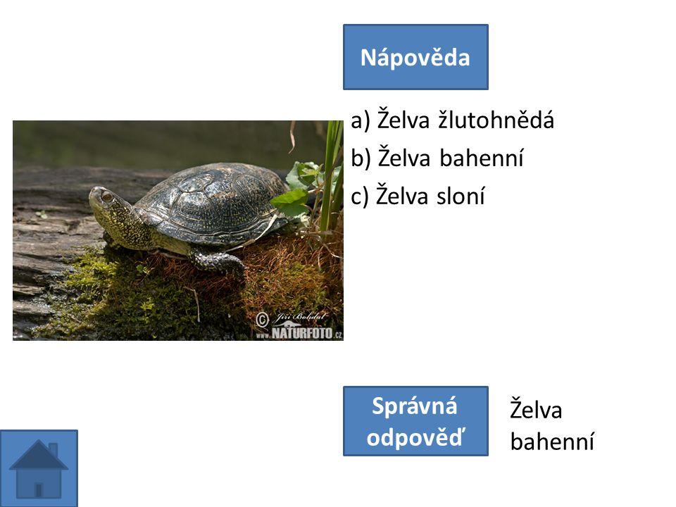 a) Želva žlutohnědá b) Želva bahenní c) Želva sloní Nápověda Správná odpověď Želva bahenní