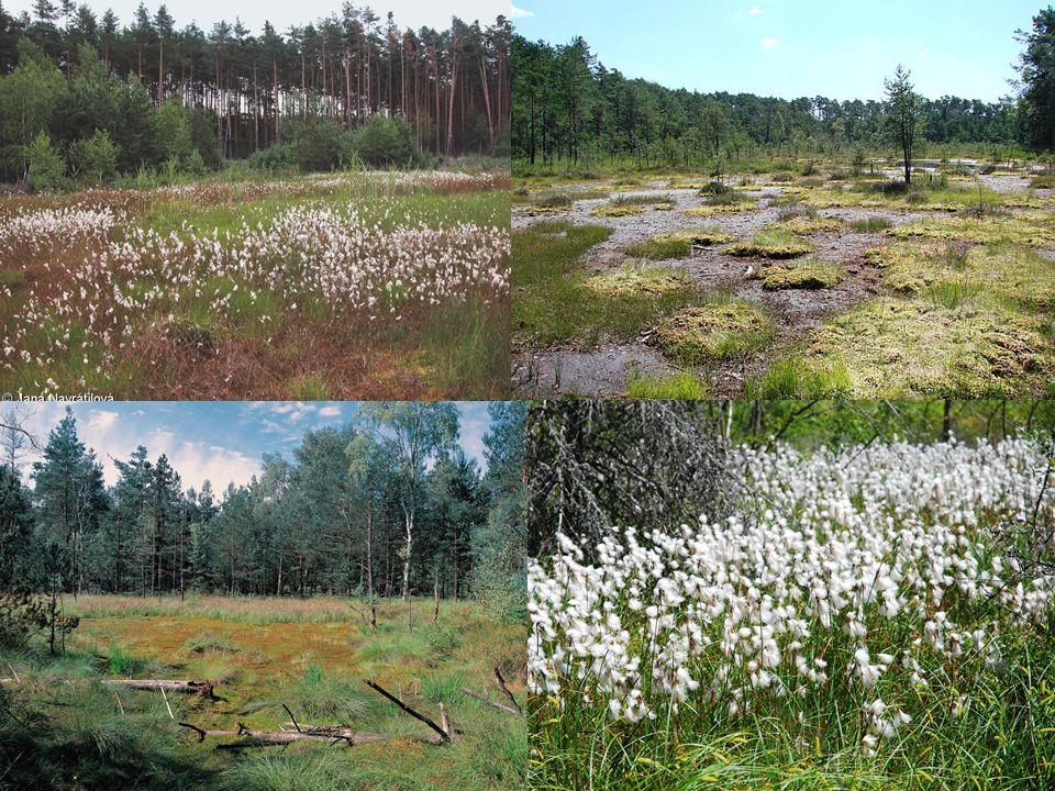 Vegetace přechodových rašelinišť -z mechorostů především rašeliníky a ploníky, bylinné patro – Carex echinata, C.