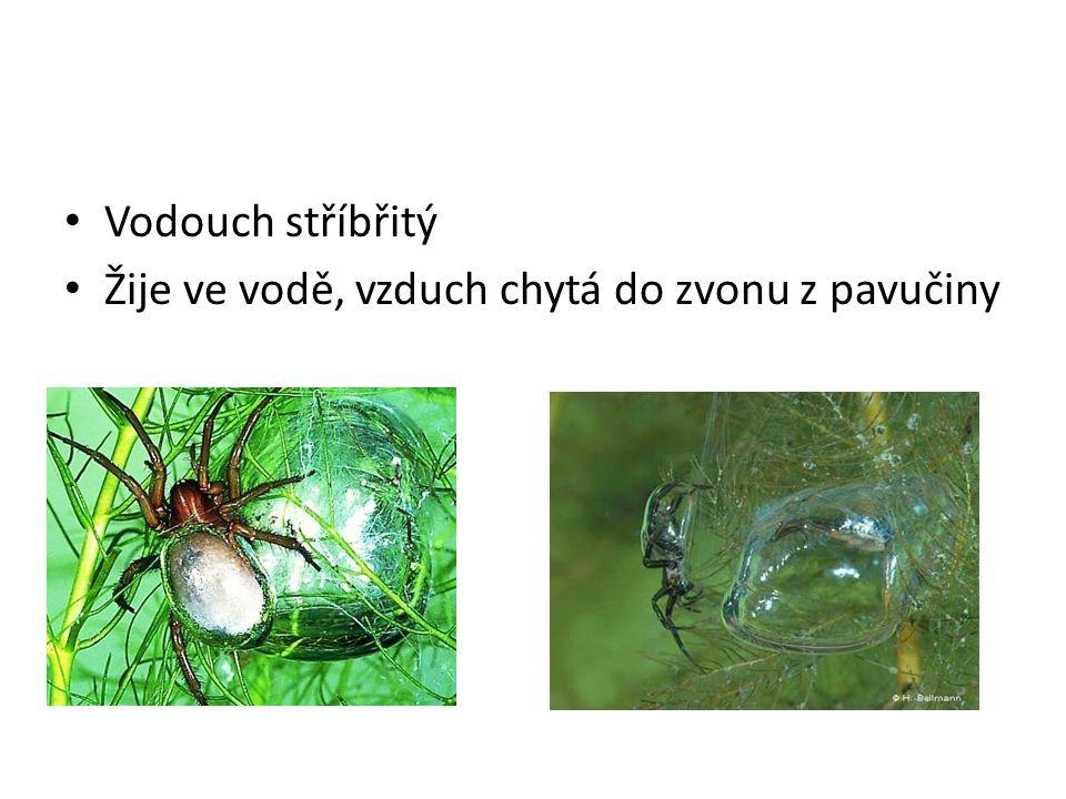 Vodouch stříbřitý Žije ve vodě, vzduch chytá do zvonu z pavučiny