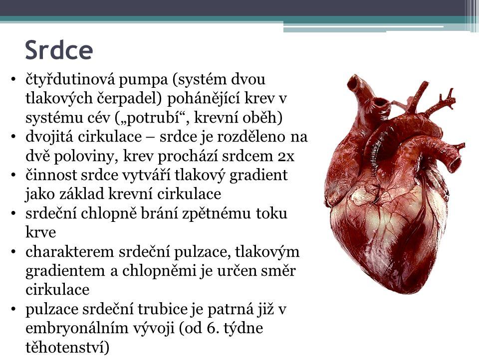 """Srdce čtyřdutinová pumpa (systém dvou tlakových čerpadel) pohánějící krev v systému cév (""""potrubí , krevní oběh) dvojitá cirkulace – srdce je rozděleno na dvě poloviny, krev prochází srdcem 2x činnost srdce vytváří tlakový gradient jako základ krevní cirkulace srdeční chlopně brání zpětnému toku krve charakterem srdeční pulzace, tlakovým gradientem a chlopněmi je určen směr cirkulace pulzace srdeční trubice je patrná již v embryonálním vývoji (od 6."""