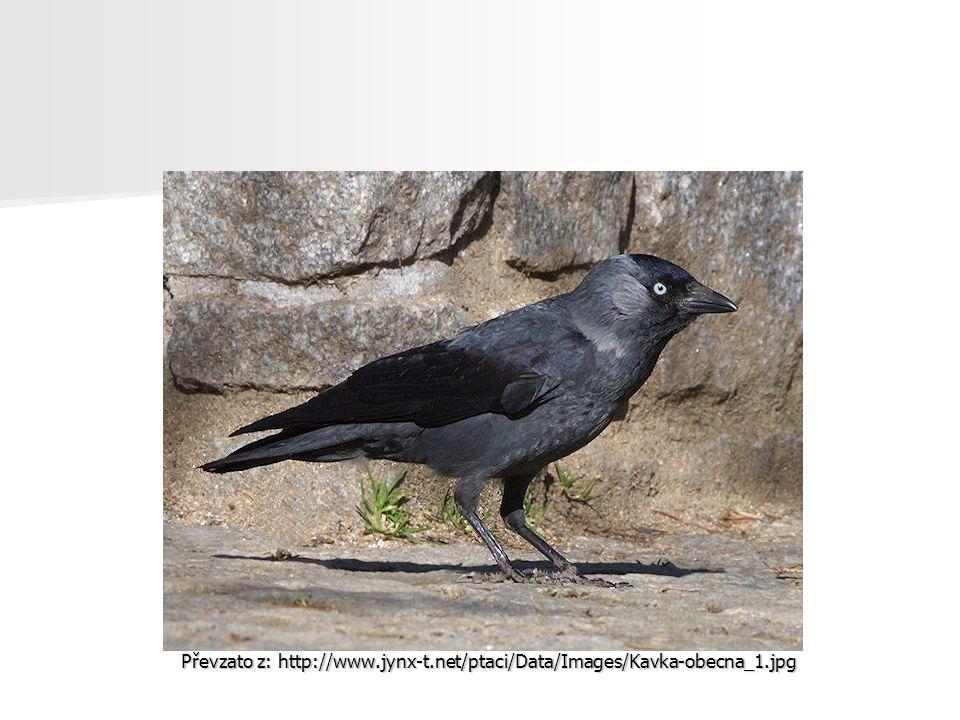 Převzato z: http://www.jynx-t.net/ptaci/Data/Images/Kavka-obecna_1.jpg