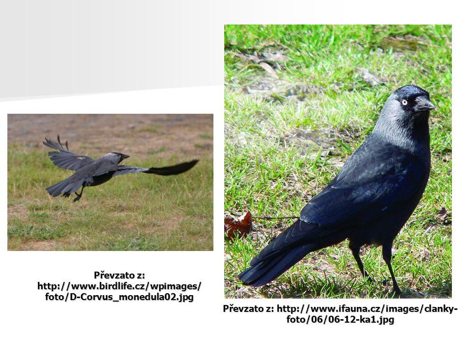 Převzato z: http://www.ifauna.cz/images/clanky- foto/06/06-12-ka1.jpg Převzato z: http://www.birdlife.cz/wpimages/ foto/D-Corvus_monedula02.jpg