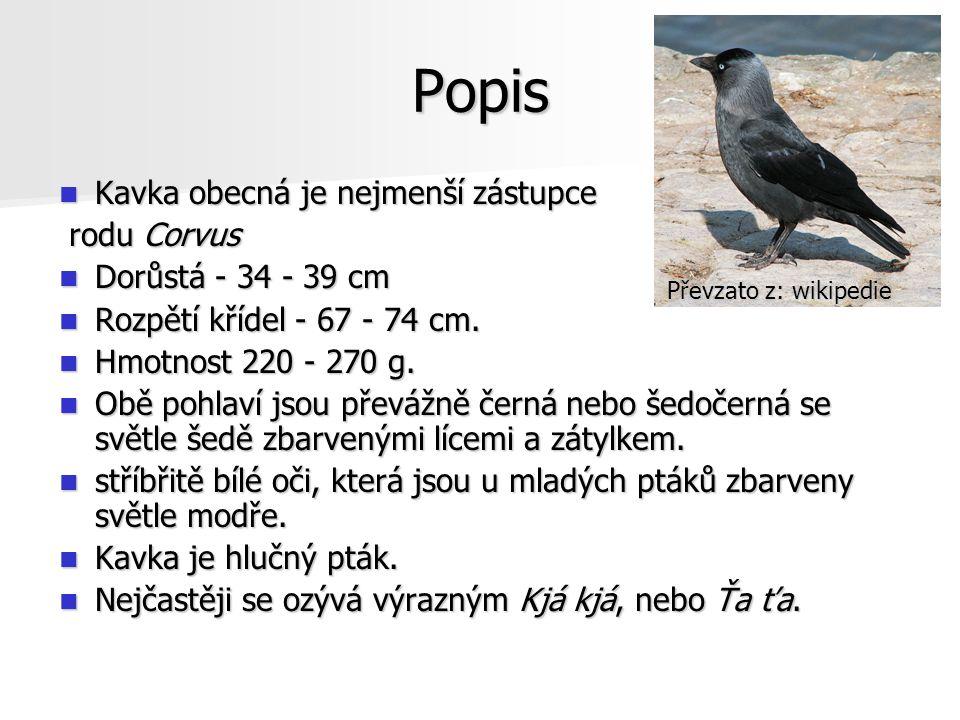 Popis Kavka obecná je nejmenší zástupce Kavka obecná je nejmenší zástupce rodu Corvus rodu Corvus Dorůstá - 34 - 39 cm Dorůstá - 34 - 39 cm Rozpětí křídel - 67 - 74 cm.