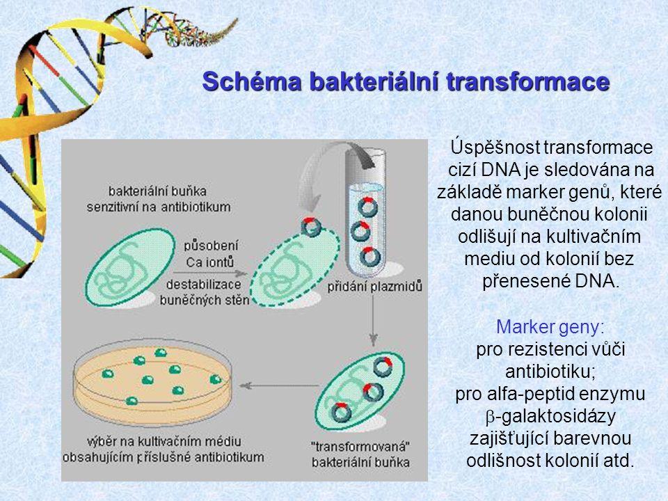 Schéma bakteriální transformace Úspěšnost transformace cizí DNA je sledována na základě marker genů, které danou buněčnou kolonii odlišují na kultivačním mediu od kolonií bez přenesené DNA.
