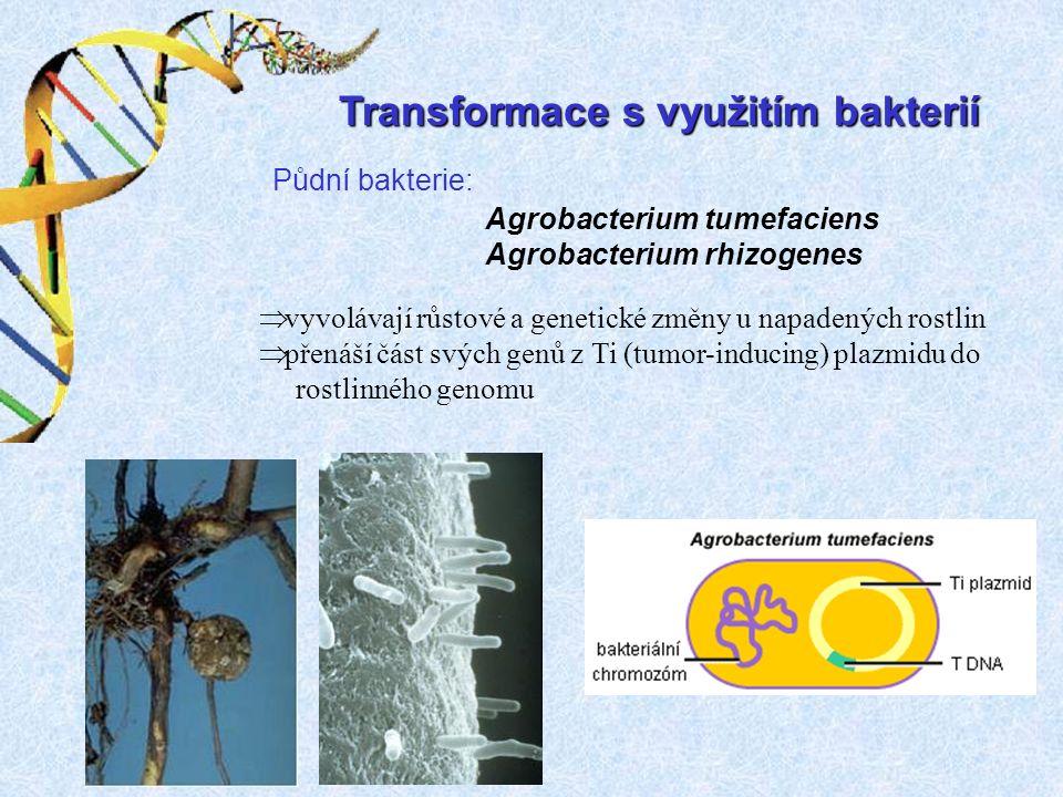 Transformace s využitím bakterií Půdní bakterie: Agrobacterium tumefaciens Agrobacterium rhizogenes  vyvolávají růstové a genetické změny u napadených rostlin  přenáší část svých genů z Ti (tumor-inducing) plazmidu do rostlinného genomu