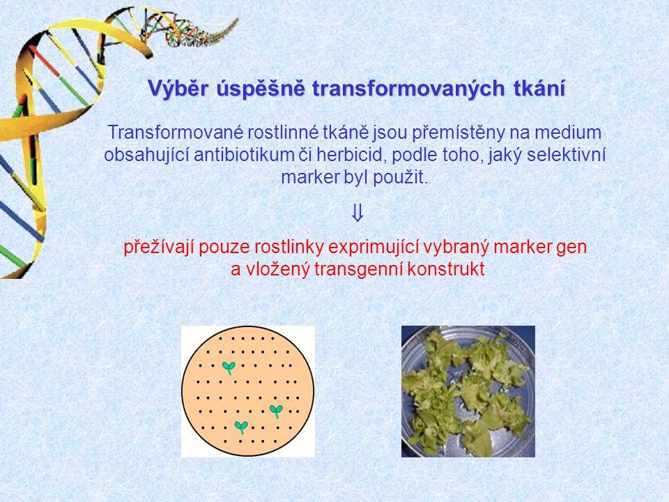 Výběr úspěšně transformovaných tkání Transformované rostlinné tkáně jsou přemístěny na medium obsahující antibiotikum či herbicid, podle toho, jaký selektivní marker byl použit.
