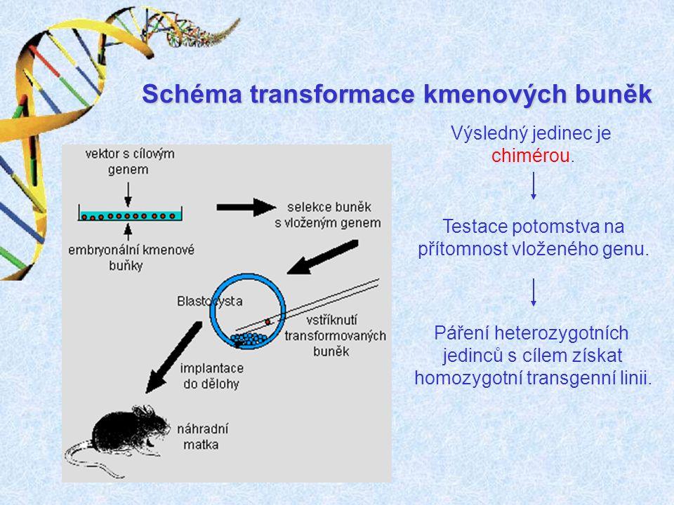 Schéma transformace kmenových buněk Výsledný jedinec je chimérou.