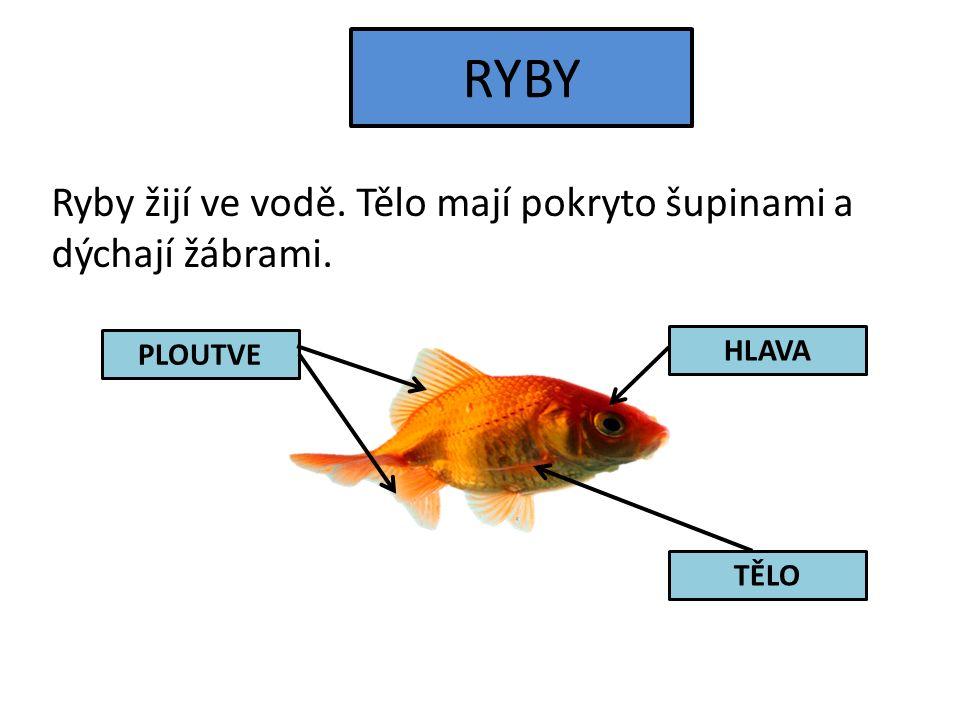 RYBY Ryby žijí ve vodě. Tělo mají pokryto šupinami a dýchají žábrami. PLOUTVE HLAVA TĚLO