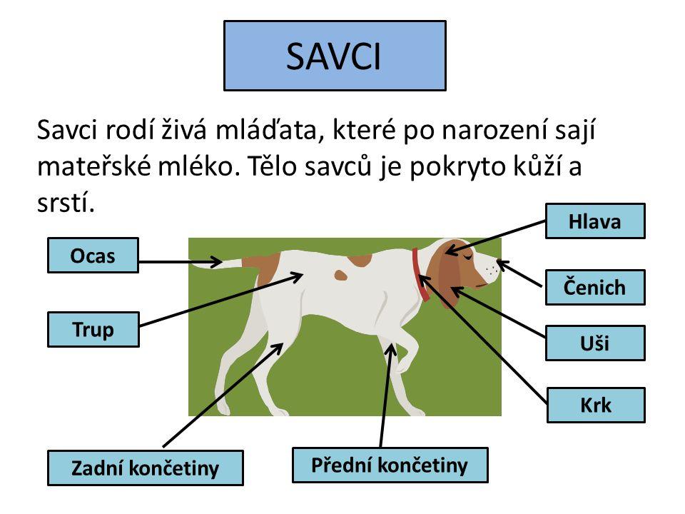 SAVCI Savci rodí živá mláďata, které po narození sají mateřské mléko. Tělo savců je pokryto kůží a srstí. Ocas Hlava Čenich Zadní končetiny Přední kon