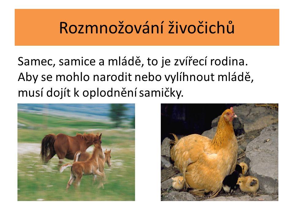 Rozmnožování živočichů Samec, samice a mládě, to je zvířecí rodina. Aby se mohlo narodit nebo vylíhnout mládě, musí dojít k oplodnění samičky.