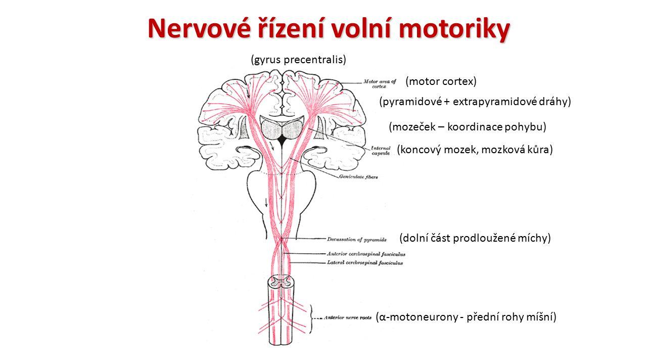 Nervové řízení volní motoriky (koncový mozek, mozková kůra) (gyrus precentralis) (motor cortex) (pyramidové + extrapyramidové dráhy) (dolní část prodloužené míchy) (α-motoneurony - přední rohy míšní) (mozeček – koordinace pohybu)