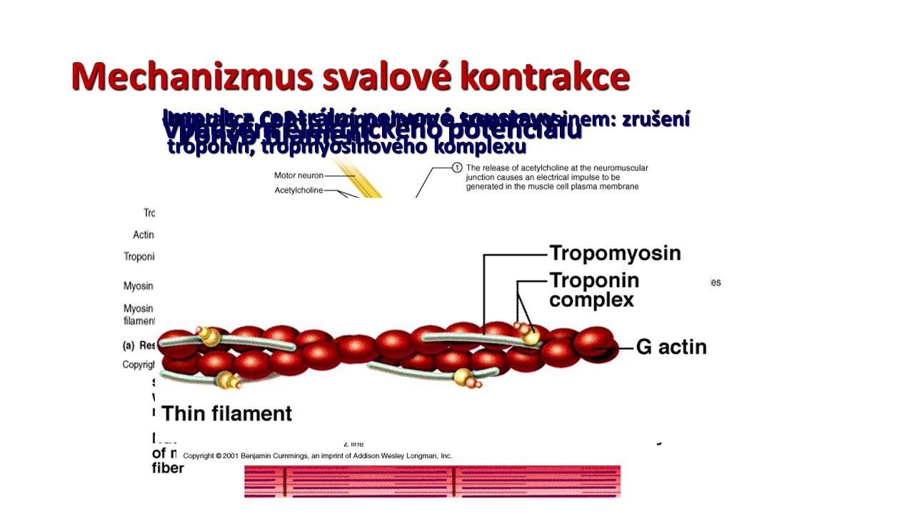Mechanizmus svalové kontrakce Impuls z centrální nervové soustavy Vybuzení elektrického potenciálu Interakce Ca2+ s troponinem a tropomyosinem: zrušení troponin, tropmyosinového komplexu Pohyb filament