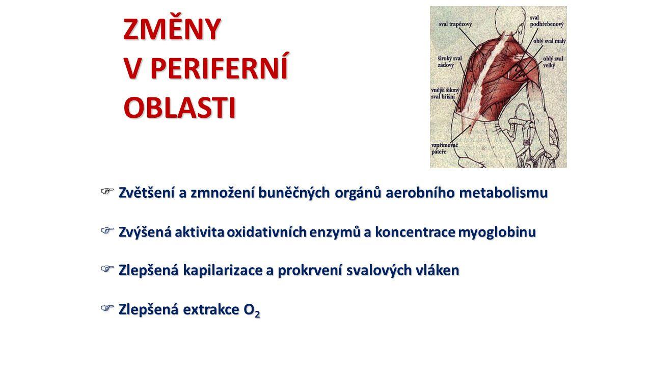 ZMĚNY V PERIFERNÍ OBLASTI  Zvětšení a zmnožení buněčných orgánů aerobního metabolismu  Zvýšená aktivita oxidativních enzymů a koncentrace myoglobinu