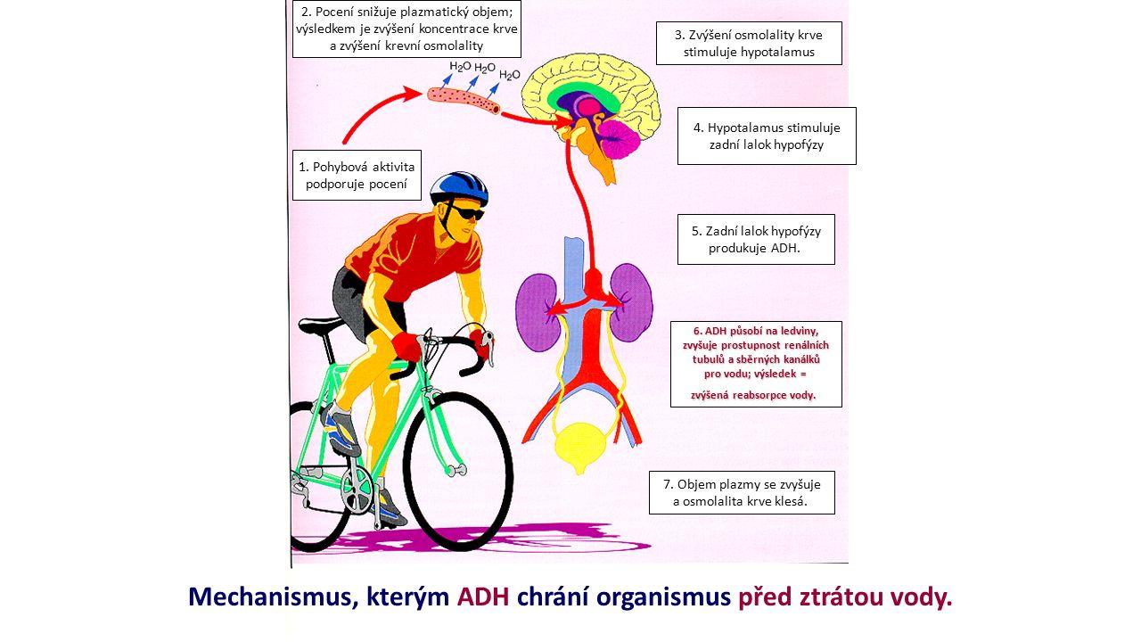 3. Zvýšení osmolality krve stimuluje hypotalamus 4. Hypotalamus stimuluje zadní lalok hypofýzy 1. Pohybová aktivita podporuje pocení 2. Pocení snižuje