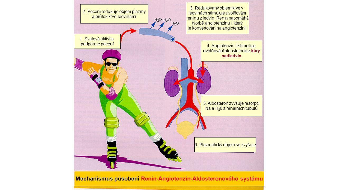 Mechanismus působení Renin-Angiotenzin-Aldosteronového systému 6. Plazmatický objem se zvyšuje 5. Aldosteron zvyšuje resorpci Na a H 2 0 z renálních t
